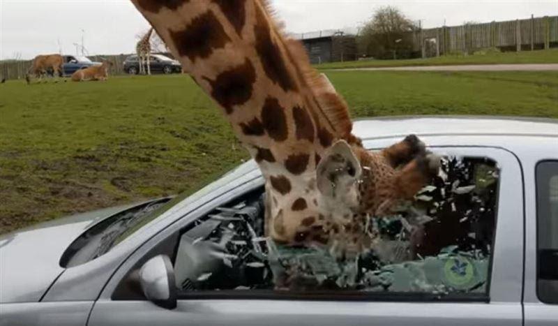 Жираф просунул голову в окно машины и разбил стекло | КТК