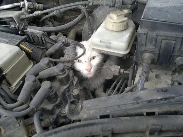 Как прогнать котов из под капота? | Пикабу
