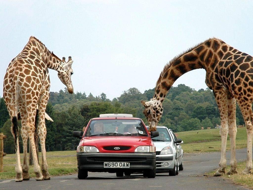 Жираф – описание, виды, где обитает, чем питается, фото